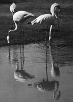 0244648 © Granger - Historical Picture ArchiveANIMAL.   flamingos in the zoo of cairo - Photographer: Martin Munkacsi - 1930 Vintage property of ullstein bild.