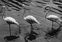 0244649 © Granger - Historical Picture ArchiveANIMAL.   German Empire: Zoo animals: flamingos in the Berlin Zoo - Photographer: Martin Munkacsi - Published by: 'Berliner Morgenpost' 23.02.1930 Vintage property of ullstein bild.