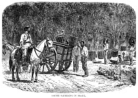 0072371 © Granger - Historical Picture ArchiveBRAZIL: COFFEE PLANTATION.   Slaves gathering coffee beans on a Brazilian plantation: wood engraving, c1878.
