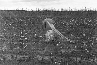 0119017 © Granger - Historical Picture ArchiveCOTTON PICKER, 1935.   A migrant worker picking cotton, Pulaski County, Arkansas. Photograph by Ben Shahn on October 1935.