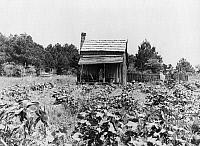 0123130 © Granger - Historical Picture ArchiveMISSISSIPPI: FARM, 1937.   A sharecropper's cabin with cotton and corn growing, near Jackson, Mississippi. Photograph by Dorothea Lange, June 1937.