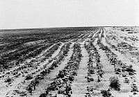 0124090 © Granger - Historical Picture ArchiveDUST BOWL, 1938.   A farm eroded by dust storms as a result of overgrazing, north of Dalhart, Texas. Photograph by Dorothea Lange, June 1938.