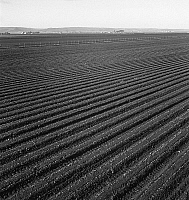 0124092 © Granger - Historical Picture ArchiveCOMMERCIAL FARMING, 1939.   A large scale lettuce farm in Salinas Valley, California. Photograph by Dorothea Lange, February 1939.