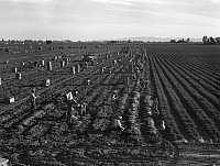 0124130 © Granger - Historical Picture ArchiveCOMMERCIAL FARMING, 1939.   A large scale carrot farm in Imperial Valley, California using gang laborers and migrant workers including children from the southwest to pull, clean, tie and crate carrots for the eastern market. Photograph by Dorothea Lange, February 1939.