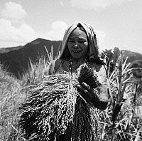 0172792 © Granger - Historical Picture ArchivePHILIPPINES: RICE FARMER.   A woman harvesting rice at the Banaue Rice Terraces in the Philippines. Photograph, 1962.