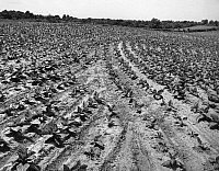 0186521 © Granger - Historical Picture ArchiveMARYLAND: TOBACCO FIELD.   The tobacco field on the farm of Calvert Norfolk in Owings, Maryland. Photograph, mid 20th century.