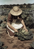 0433526 © Granger - Historical Picture ArchiveNEW MEXICO: PIE TOWN, 1940.   Homesteader Mrs. Norris with cabbage in Pie Town, New Mexico. Photograph by Russell Lee, October 1940.