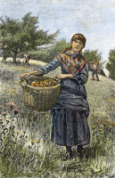 0093083 © Granger - Historical Picture ArchiveAPPLE HARVEST, 1882.   Wood engraving, American, 1882, after a drawing by Emily L. Phillips.