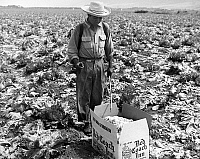 0116669 © Granger - Historical Picture ArchiveCALIFORNIA: FARMING, 1958.   A Mexican field worker on a farm in California sprays newly harvested and boxed lettuce with water to prevent wilting, 1958.