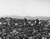 0116671 © Granger - Historical Picture ArchiveCALIFORNIA: HARVEST, 1958.   Field workers on a farm in California distributing cartons to pack freshly harvested heads of lettuce, 1958.