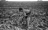 0121647 © Granger - Historical Picture ArchiveMIGRANT WORKER, 1937.   Young worker picking sugar beets on a farm, near Fisher, Minnesota. Photograph by Russell Lee, October 1937.