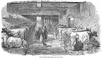 0000852 © Granger - Historical Picture ArchiveENGLAND: CATTLE, 1853.   The cow shed at Friern Manor Dairy Farm, Peckham, England. Wood engraving, English, 1853.