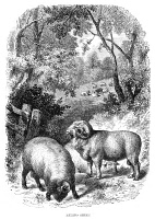 0027750 © Granger - Historical Picture ArchiveSHEEP, 19th CENTURY.   Merino sheep. Wood engraving, 19th century.