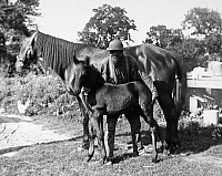 0093142 © Granger - Historical Picture ArchiveHORSE WITH FOAL.   Photograph, American, early 20th century.