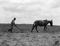 0123685 © Granger - Historical Picture ArchiveGEORGIA: PLOWING, 1937.   A sharecropper plowing a cotton field in Greene County, Georgia. Photograph by Dorothea Lange, July 1937.