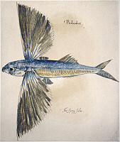 0043625 © Granger - Historical Picture ArchiveFLYING-FISH, 1585.   Exocoetus volitans. Watercolor, c1585, by John White.
