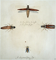 0043728 © Granger - Historical Picture ArchiveFIREFLIES & GADFLY, 1585.   Pyrophorus noctilus: watercolor, c1585, by John White.