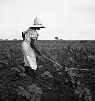 0123688 © Granger - Historical Picture ArchiveSHARECROPPER, 1936.   An African American sharecropper working in a cotton field near Eutaw, Alabama. Photograph by Dorothea Lange, July 1936.