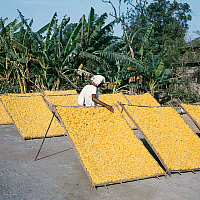 0423322 © Granger - Historical Picture ArchiveDECORATIVE ARTS.   Drying silk cocoons in West Bengal, India Full credit: De Agostini / N. Cirani / Granger, NYC -- All Rights Reserved.