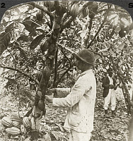 0063784 © Granger - Historical Picture ArchiveCACAO PLANTATION.   Harvesting seed pods on a cacao plantation in Costa Rica, 1907.