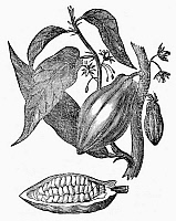 0091460 © Granger - Historical Picture ArchiveCACAO.   Theobroma cacao. Leaves, fruit, and ripened pod of the cacao tree. Line engraving, French, 1834.