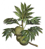 0008004 © Granger - Historical Picture ArchiveCOOK: BREADFRUIT, 1773.   The Tahitian Breadfruit. Line engraving, 1773, from Captain James Cook's 'Account of a Voyage Round the World in the Years 1768-71.'