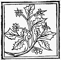0090900 © Granger - Historical Picture ArchiveHOLLY, 1503.   Woodcut from Macer Floridus' 'De Viribus Herbarum,' 1503.