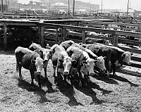 0259448 © Granger - Historical Picture ArchiveTEXAS: CATTLE, c1965.   Cattle in a stockyard in Fort Worth, Texas. Photograph, c1965.