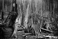 0120064 © Granger - Historical Picture ArchiveWASHINGTON: LUMBERING.   A lumberjack with his family admid huge cedar and fir logs in the Cascade Mountains near Seattle, Washington. Photographed in 1902.