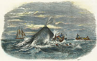 0008695 © Granger - Historical Picture ArchiveSPERM WHALE ATTACK, 1851.   Destruction of a rowboat from the whaling ship 'Ann Alexander' by a sperm whale in the South Pacific. Color engraving, American, 1847.