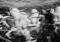 0109793 © Granger - Historical Picture ArchiveWHALING, c1935.   Dead humpback whales, inflated with compressed air, tied to the deck of a factory ship befoe stripping their blubber. Photographed c1935-1945.