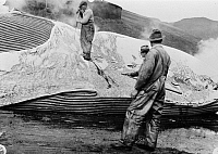 0109796 © Granger - Historical Picture ArchiveWHALING, c1935.   Removing blubber from whale. Photographed c1935-45.