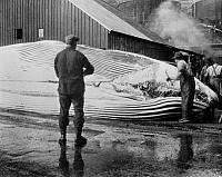 0109797 © Granger - Historical Picture ArchiveWHALING, c1935.   Removing blubber from whale with cutting spade. Photographed c1935-45.