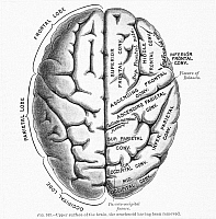 0016747 © Granger - Historical Picture ArchiveTHE HUMAN BRAIN.   Upper surface of the brain. Lithograph, 19th century.