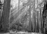 0129157 © Granger - Historical Picture ArchiveSEQUOIA NATIONAL PARK.   Sun rays filtering through the forest in Sequoia National Park, California. Photograph, c1957.