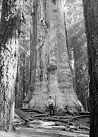 0129158 © Granger - Historical Picture ArchiveSEQUOIA NATIONAL PARK.   A tourist standing beside 'The Dead Giant,' sequoua tree in Sequoia National Park, California. Photograph, c1957.