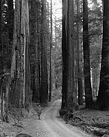 0183650 © Granger - Historical Picture ArchiveREDWOOD FOREST.   A man standing on a road through a redwood forest, probably in California. Photograph, early 20th century.