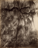 0623287 © Granger - Historical Picture ArchiveFLORIDA: SPANISH MOSS.   Spanish moss on a tree on the banks of the St. Johns River in Florida. Photograph by George Barker, c1886.