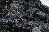 0166762 © Granger - Historical Picture ArchiveLAVA BED: PLANT GROWTH.   Small plants beginning to grow on a lava bed. Photograph, c1971.