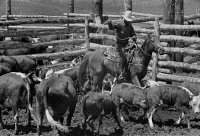 0621274 © Granger - Historical Picture ArchiveMONTANA: ROUNDUP, 1939.   Cowboy roping a calf at a roundup at the Three Circle Ranch in Montana. Photograph by Arthur Rothstein, June 1939.
