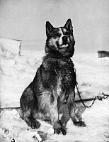 0116417 © Granger - Historical Picture ArchiveTERRA NOVA EXPEDITION.   Chris, one of the sled dogs of the Terra Nova Expedition to the South Pole, led by Captain Robert Falcon Scott. Photograph by Herbert Ponting, 1910 or 1911.
