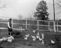 0622076 © Granger - Historical Picture ArchiveBOOKER T. WASHINGTON   (1856-1915). American educator. Feeding chickens at the Tuskegee Institute in Tuskegee, Alabama. Photograph, c1900.