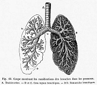 0065321 © Granger - Historical Picture ArchiveRESPIRATORY SYSTEM.   Cross-section of human lungs. Line engraving, 19th century.