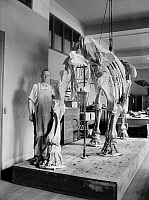 0122632 © Granger - Historical Picture ArchiveMASTODON FOSSIL.   A scientist with a partially constructed mastodon fossil. Photograph, c1923.