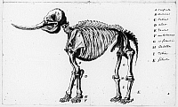 0165538 © Granger - Historical Picture ArchivePEALE: MASTODON, c1801.   Sketch of a mastodon skeleton by Rembrandt Peale, c1801.