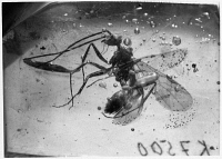 0172905 © Granger - Historical Picture ArchiveFOSSIL: ANT IN AMBER.   A prehistoric flying ant preserved in amber.