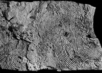 0172907 © Granger - Historical Picture ArchiveFOSSIL: TRACE LINES.   Fossilized lines of a feeding pattern of a Helminthoida labyrinthica, an aquatic sediment feeding animal of the Tertiary period, found at Florence, Italy.