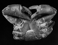 0172908 © Granger - Historical Picture ArchiveFOSSIL: MIOCENE CRAB.   Fossil of an Archaegeryon Peruvianus crab of the Miocene period, found in Patagonia.