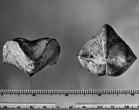 0172909 © Granger - Historical Picture ArchiveFOSSIL: PARASPIRIFER.   Fossils of a Paraspirifer bownocker, a Devonian period brachiopod, found in Ohio.