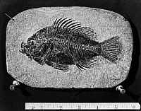 0172923 © Granger - Historical Picture ArchiveFOSSIL: CICHLID.   Fossil of a cichlid from the Eocene period, found in Wyoming.